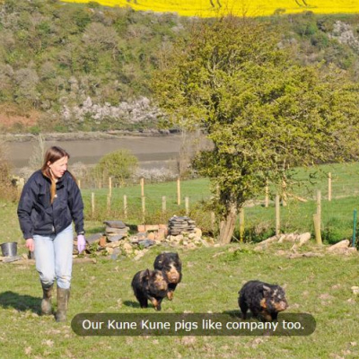 Kune pigs on site