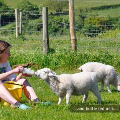 Lambs being bottle fed