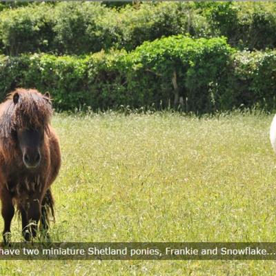 Shetland ponies on site