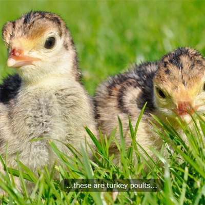 Our turkey poults