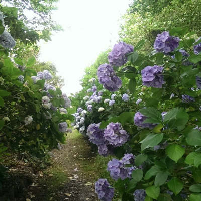 Beautiful garden, full of Hydrangeas!