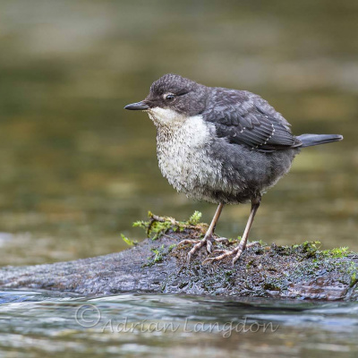 Dipper on the River Camel