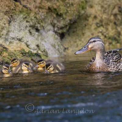 Mallard family enjoying the river