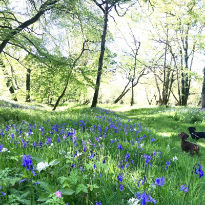 A carpet of bluebells and wild garlic in our woodland
