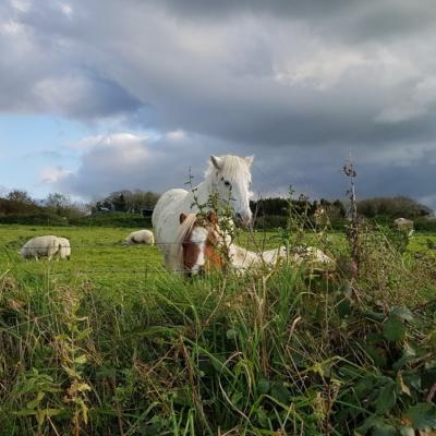 Cornish ponies